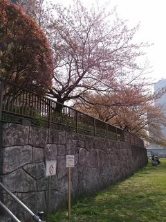 21 残桜.jpg