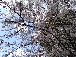 6 桜寄り.jpg