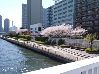 9 永代の桜.jpg